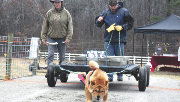"""During a dog pull on Saturday, Chow Chow """"Syd"""" puts his muscles into it. Mid Atlantic Weight Pullers members meet in Suffolk up to 10 times each season to put their pooches to the test."""