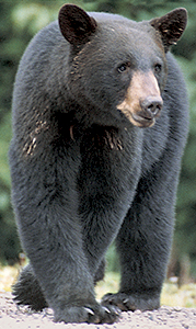 Residents should leave black bears alone, according to a city press release. They will usually leave on their own.