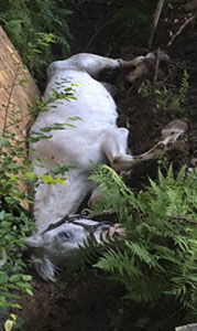 This horse was rescued from a ditch Friday evening. (Submitted Photo)