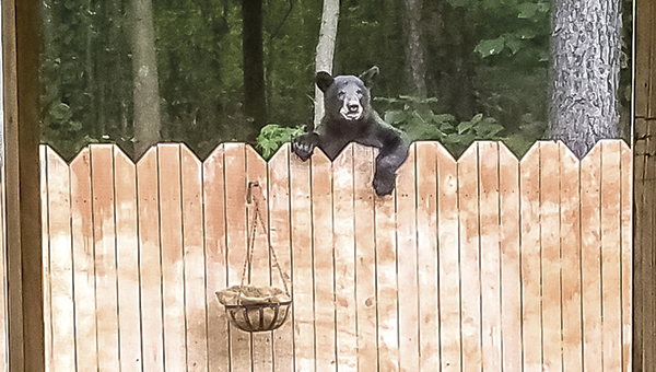"""Heather Sperling snapped this photo from the back porch of her home on Monitor Court off of Pughsville Road on Wednesday. Sperling and her friends — """"us ladies call ourselves the Real Housewives of Monitor Court"""" — have named the bear """"Wilson,"""" because of the """"Home Improvement"""" character's penchant for joining a scene in the television show while partially hidden by the fence between his and neighbor Tim Taylor's properties. Wilson the Bear just dipped a paw into the basket, grabbed a few peanuts that had been left for squirrels and then went about his business, Sperling said. (Heather Sperling photo)"""
