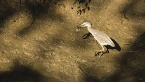 A juvenile egret with a taste for crabs was a part of Suffolk's summer show this year.