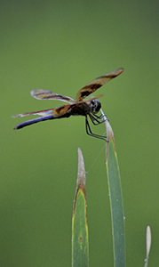 A hiding dragonfly was part of Suffolk's summer show this year.